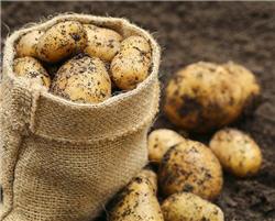 posadka kartofel